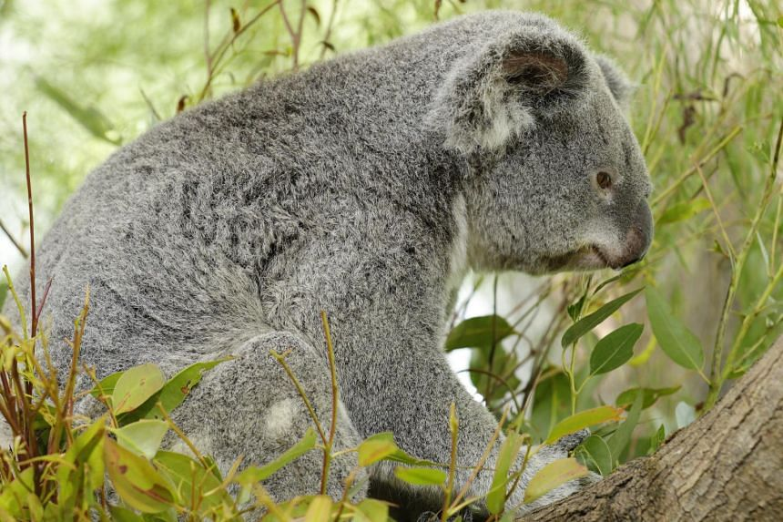 Paddle is the oldest and gentlest koala. She also has a motherly side and can be seen doting on Idalia.