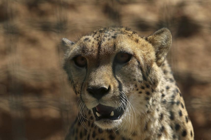 A cheetah is seen during a hot summer day at the zoo in Spata near Athens, Greece on July 16, 2015.