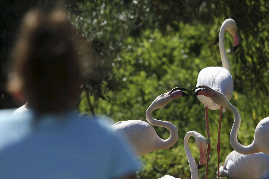 A visitor looks at pink flamingos during a hot summer day at a zoo in Spata near Athens, Greece on July 16, 2015.