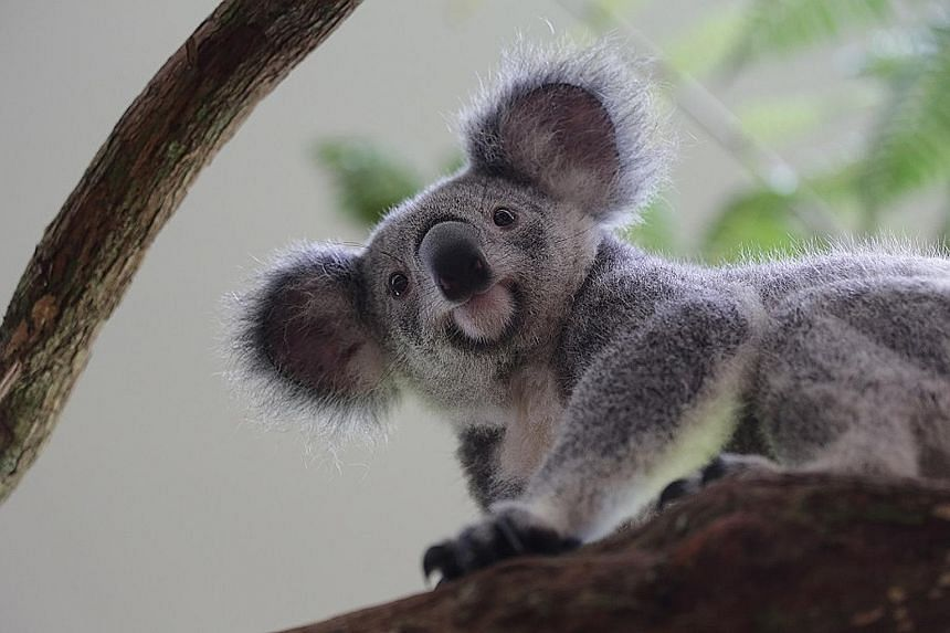 Idalia (above) is the youngest of the four koalas that arrived here in April to mark SG50 as well as diplomatic ties between Singapore and Australia.