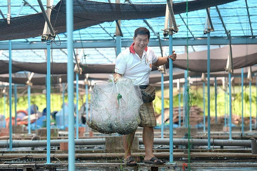 Nippon Koi Farm owner Pay Bok Sing with prawns grown at his farm. Of his farm's 300 ponds, about 100 now rear fish such as marble gobi and grouper, and prawns. Mr Pay says that demand for the ornamental koi fish has halved over the past five years.