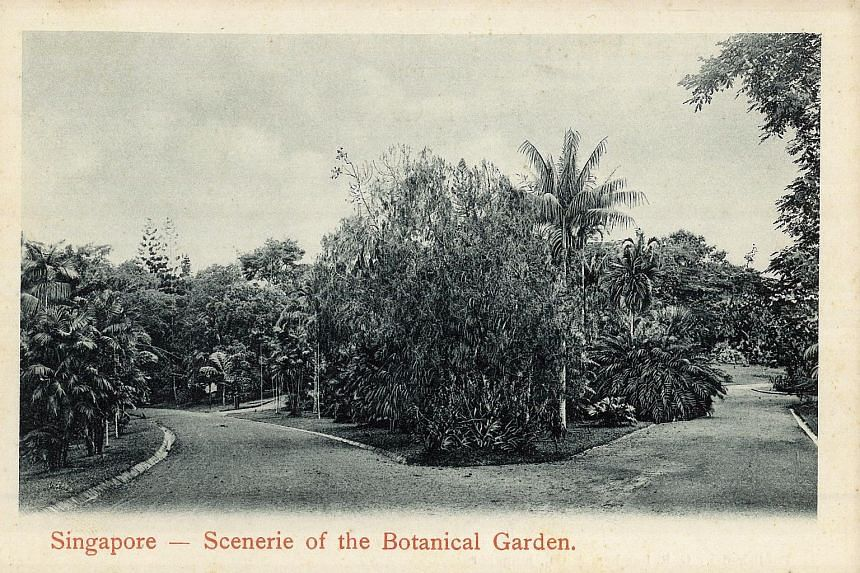 The tiger orchid plant near the Curtain of Roots Walk (top and right) is the same as the one in a postcard printed in the 1920s (above). It was planted in 1861 by Gardens' manager Lawrence Niven.