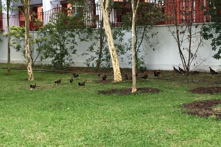 A flock of chickens at the grass patch near Hill Street's Central Fire Station.