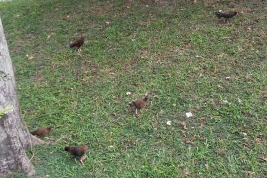 Several stray chickens on a slope in Queenstown's Stirling View and Mei Ling Road neighbourhood.