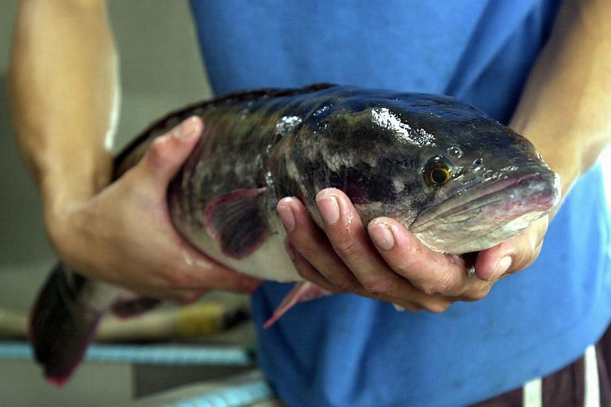 A snakehead fish.