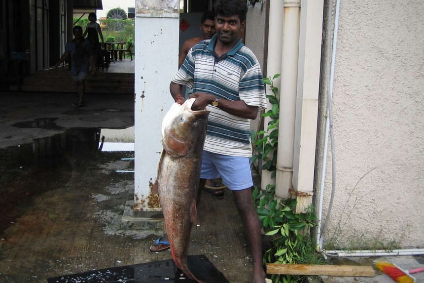 The Song fish, or the Asian bighead carp, is one of the two fish types that has been found to contain traces of GBS bacteria. In 2007, the fish were found in the Sungei Kadut canal, and foreign workers who lived in the area caught them.