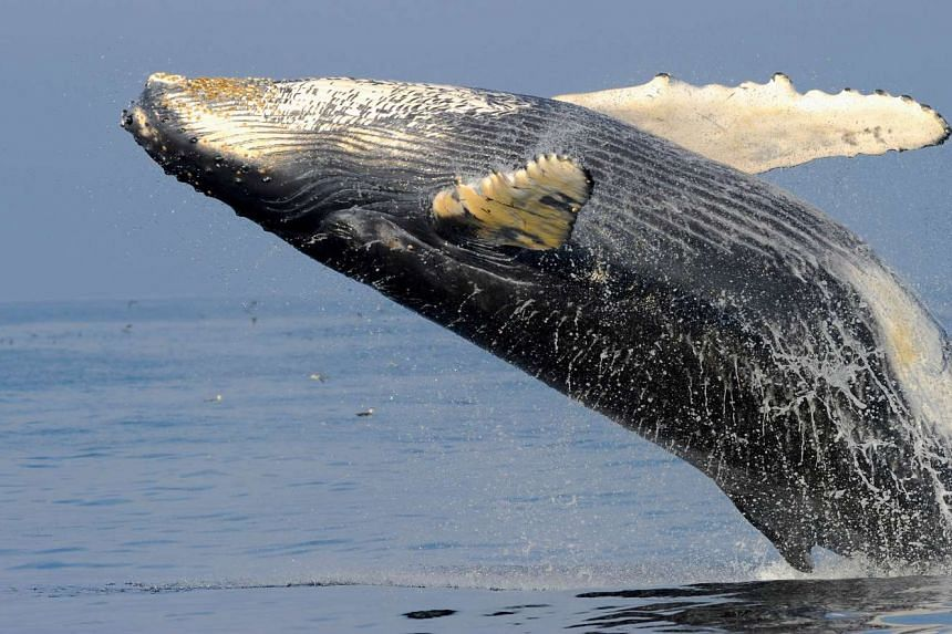 A Humpback whale breaching in Stellwagen Bank in Massachusetts Bay in the United States. Humpback whale populations in the waters of Australia have recovered so well from years of devastating whaling that they could be delisted as a threatened specie