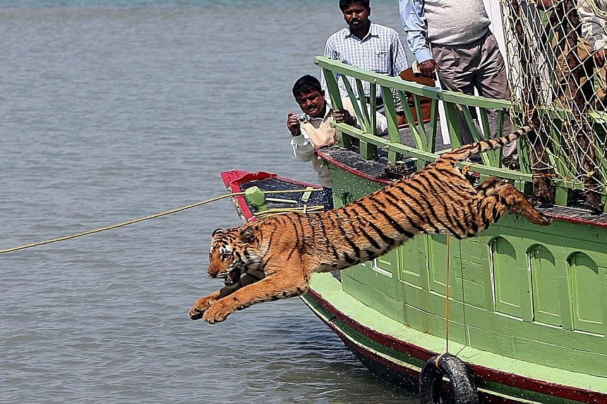 Experts said the reason for the huge drop in tiger numbers was better methodology.
