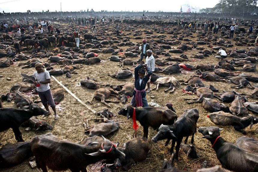 A butcher gets ready to kill a buffalo during a mass slaughter of the animals for the Gadhimai festival, in this 2014 file photo.