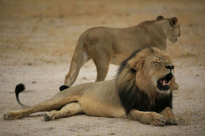 Cecil was allegedly killed by an American tourist on a hunt using a bow and arrow.