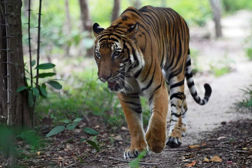 A Cambodian tiger at the Phnom Tamao Wildlife Rescue Center in Takeo province, Cambodia on July 28,2015.