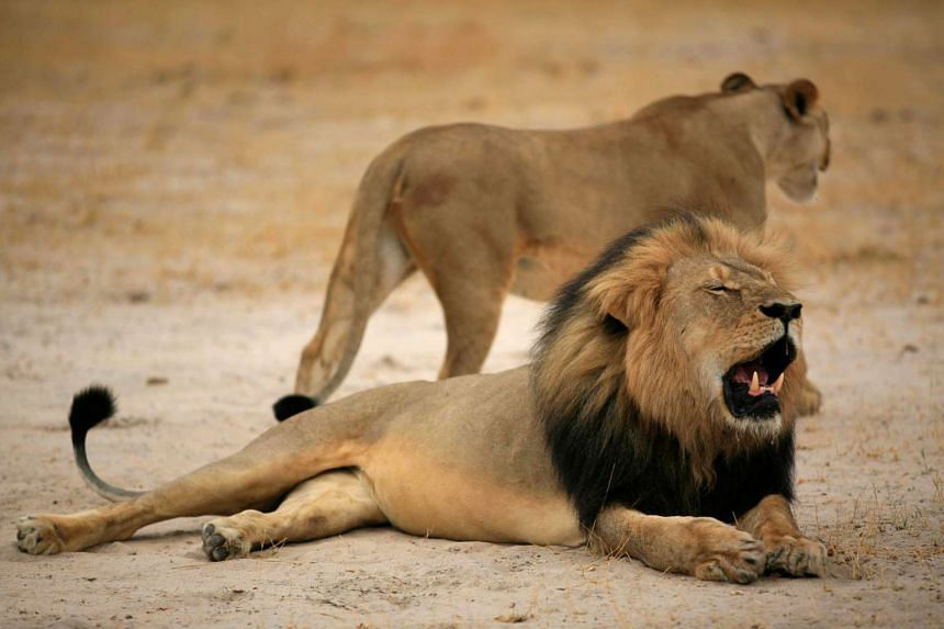 An undated handout photo provided by the Zimbabwe Parks and Wildlife Management Authority on July 28, 2015 shows Cecil, one of Zimbabwe's most famous lions, who was reportedly shot dead by US hunter Walter Palmer, of Minneapolis, Minnesota, USA, acco