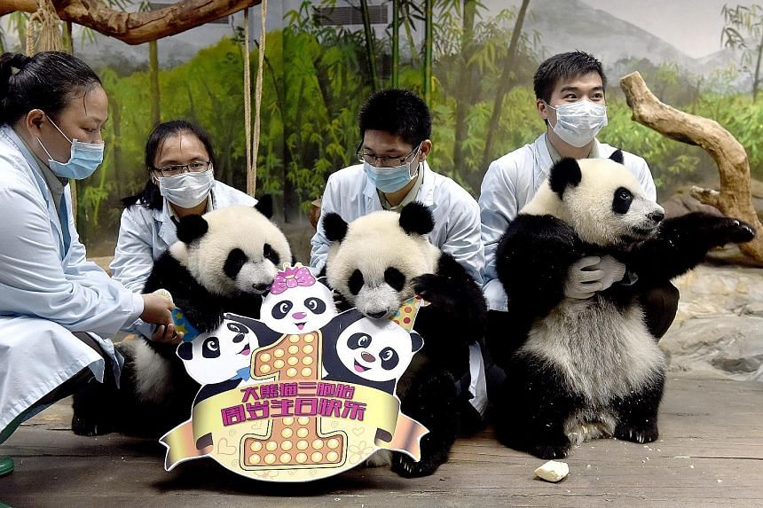 The world's only set of panda triplets celebrated their first birthday yesterday. The triplets, named Meng Meng, Shuai Shuai and Ku Ku, were born last year in Guangzhou. Yesterday, the trio celebrated their birthday at the Chimelong Safari Park. They
