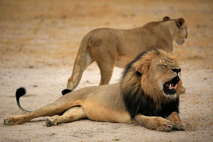 Dr Walter J. Palmer (above) claims he relied on the expertise of his local guides and did not know that Cecil the lion (seen here in a file photo) had been lured outside a sanctuary's boundaries with bait.