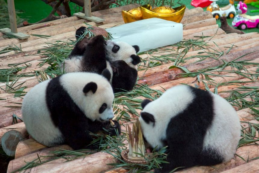 Giant panda triplets play during their birthday celebration at Chimelong Safari Park in Guangzhou, China, on July 29, 2015.