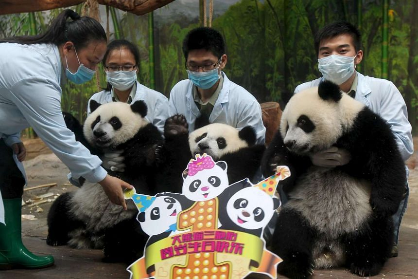 Feeders hold giant panda triplets as they pose for pictures during their birthday celebration at Chimelong Safari Park in Guangzhou, China, on July 29, 2015.