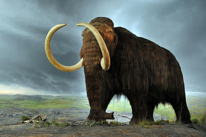 The woolly mammoth had a two-layer coat of wool topped by long, coarse fur and a layer of fat under its skin up to 10cm thick.