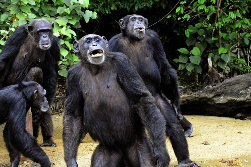 The judge said animals, including chimpanzees and other highly intelligent mammals, are considered property under the law and thus are accorded no legal rights.