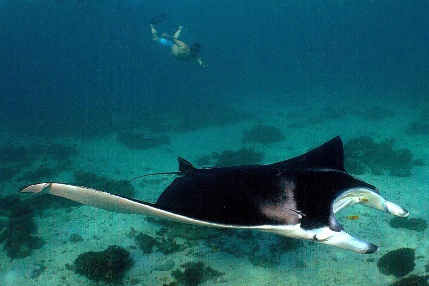 Loggerhead, hawksbill and green turtles glide around the coral in abundance. Manta rays are seen all year round and are especially frequent around Coral Bay, a town about 200km south of Exmouth. More than 500 species of fish, 300 types of coral and 6