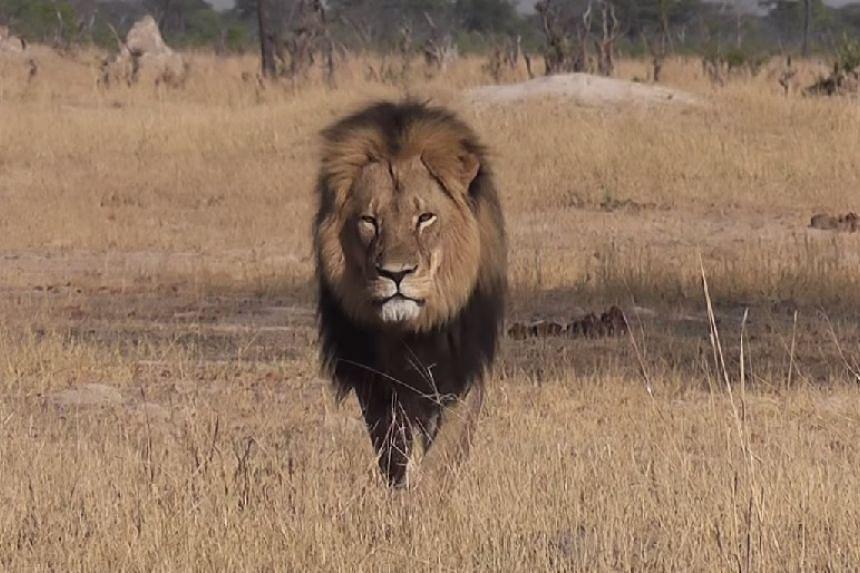 A screenshot from a tourist's online video of Cecil roaming Hwange National Park.