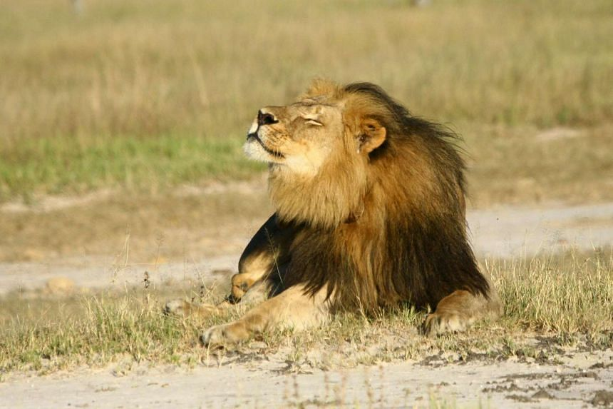 Cecil the lion is seen at Hwange National Parks in this undated handout picture received on July 31, 2015.