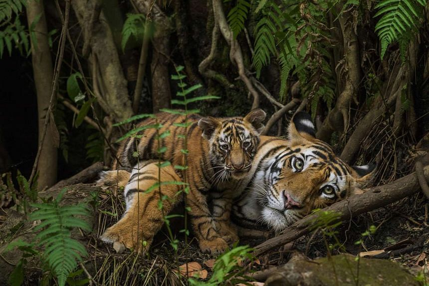 Steve Winter photographs big cats in the wild (above) and wants to be remembered as someone who does his best to save them.