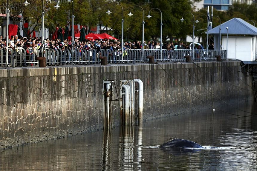A stranded humpback whale surfaces at the docks of Puerto Madero neighbourhood as people watch in Buenos Aires, Argentina.