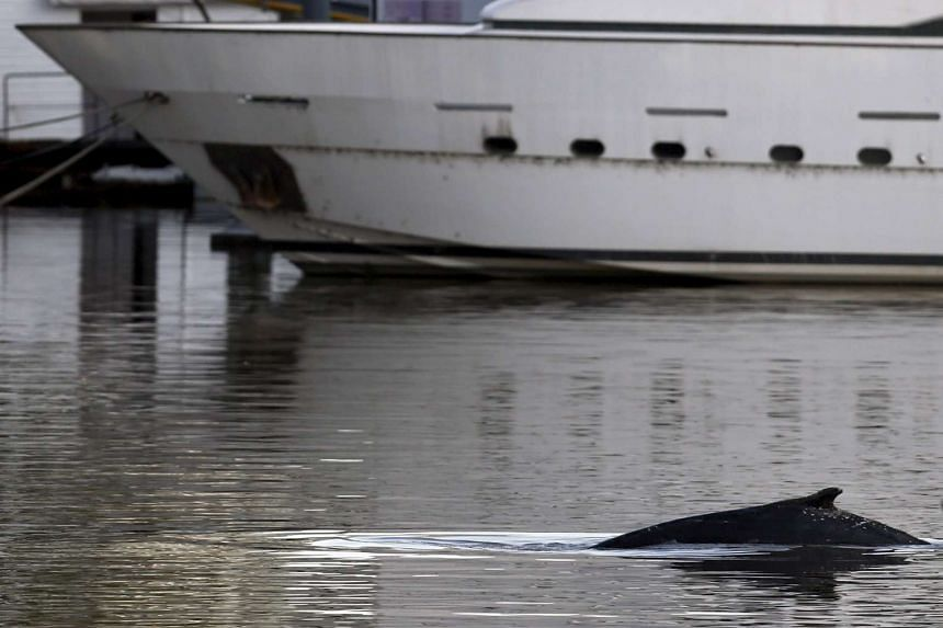A stranded humpback whale surfaces at the docks of Puerto Madero neighbourhood in Buenos Aires, Argentina on Aug 3, 2015.