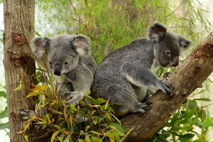 Two of four koalas at the Singapore Zoo.