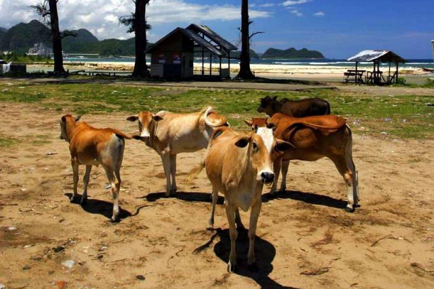 Animals roam freely on Pulau Weh, a small, sleepy island off the coast of Banda Aceh.