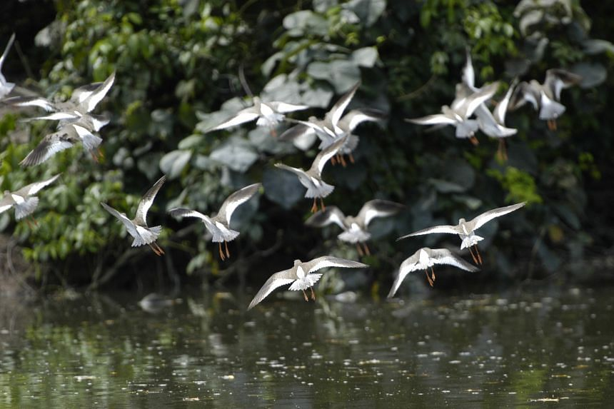 Migratory shorebirds at the Sungei Buloh Wetland Reserve, which was officially designated as a sanctuary for wild birds in 1989.