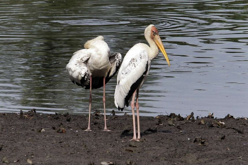 The Sungei Buloh wetlands are now a haven for wildlife, including painted and milky storks (above) and reptiles.