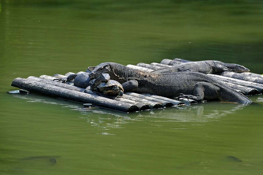 The Sungei Buloh wetlands are now a haven for wildlife, including painted and milky storks and reptiles (above). =