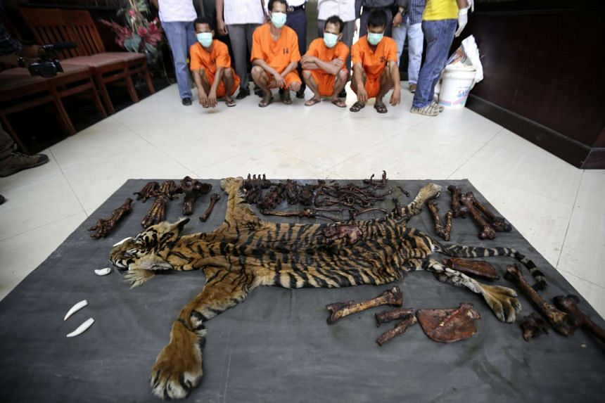 Aceh police present four men after arresting them as suspects to be involved in illegal wildlife trading n Aceh, Indonesia, on Aug 10, 2015, along with a seized a tiger skin that has been preserved for illegal sale.