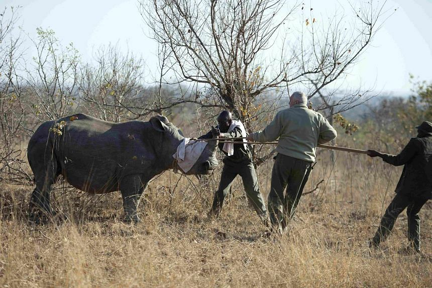 A White Rhino being captured by conservation officials in Kruger National Park last week. The animal is one of hundreds to be removed from poaching hot spots because of the soaring demand for rhino horn.