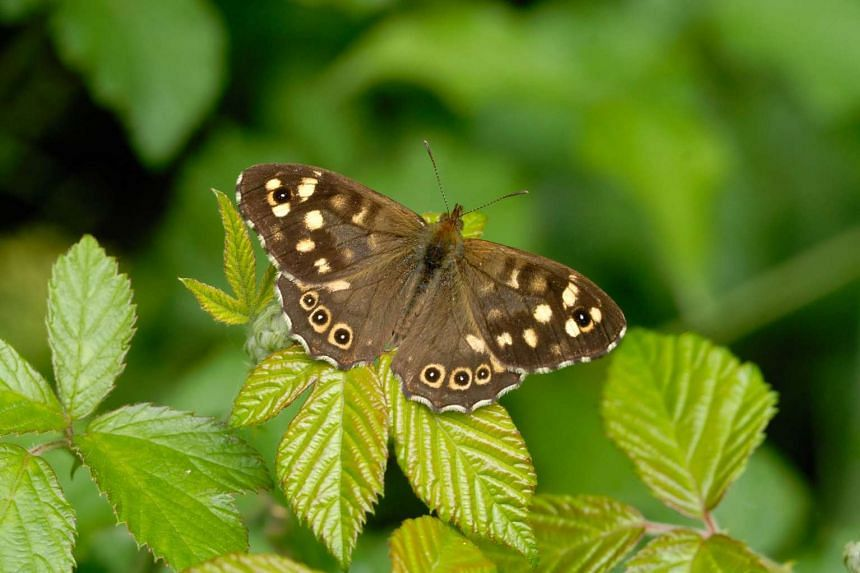 "A speckled wood butterfly ('Pararge aegeria') in a handout picture taken on June 13, 2010 and released by the Nature press service.  ""Widespread, drought-sensitive butterfly population extinction could occur as early as 2050"", scientists reported in"