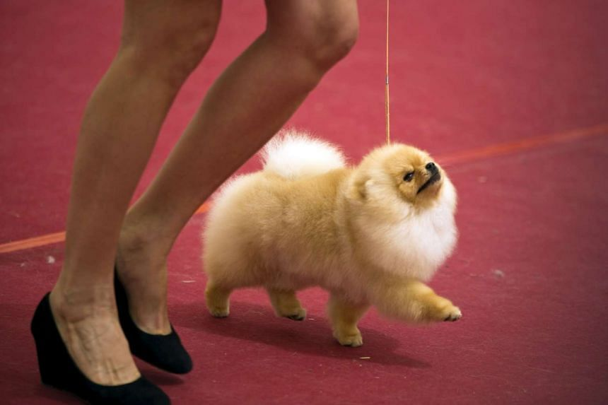 The Pomeranian - similar to this one (above) - suffered multiple bone fractures.