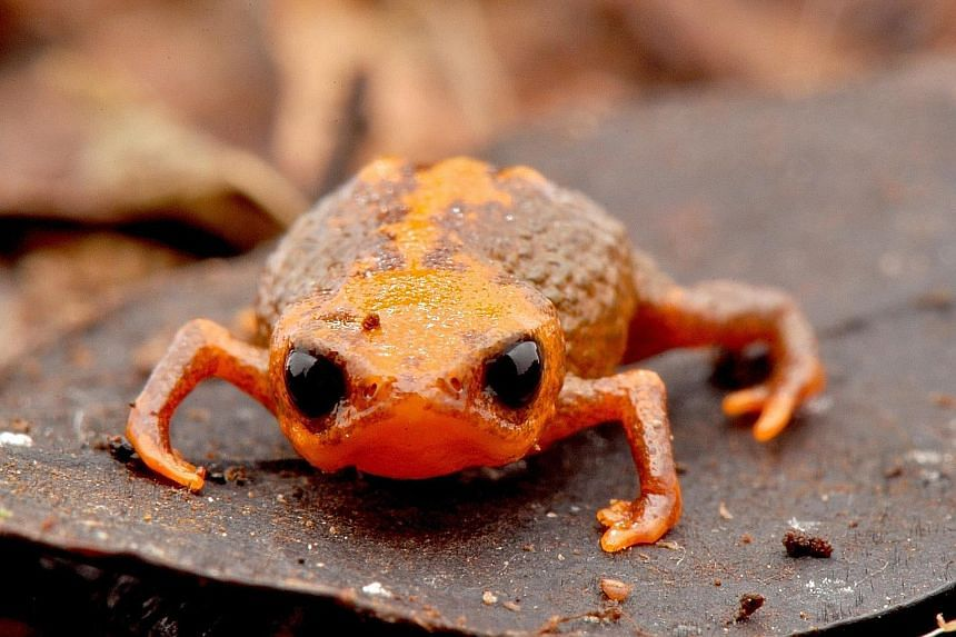 A group of Brazilian researchers have found a new species of tiny toad that measures just over a centimetre and is considered threatened by extinction. Brachyce- phalus quiriri was discovered by the Parana Federal University in Serra do Quiriri, Sant