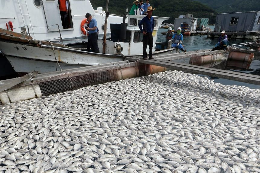 Hundreds of fish are found dead on a farm in the seas off Geoje city on the south coast of South Korea because of red tide, a type of algal bloom that produces natural toxins and depletes dissolved oxygen, killing fish. The dead fish were reported fo