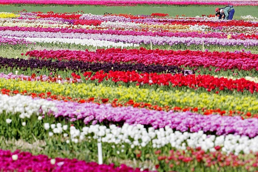 The Netherlands provides an estimated 40 per cent of all fresh cut flowers and houseplants sold in Russia, a trade worth about €283 million (S$440 million) last year.
