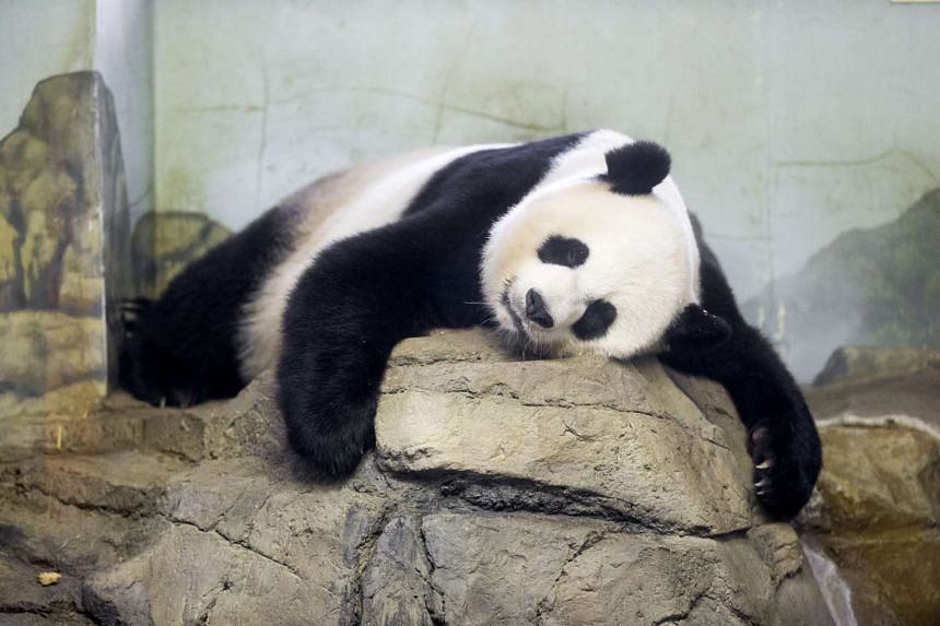 Giant panda Mei Xiang sleeps indoors at Smithsonian's National Zoological Park in Washington, DC, US.