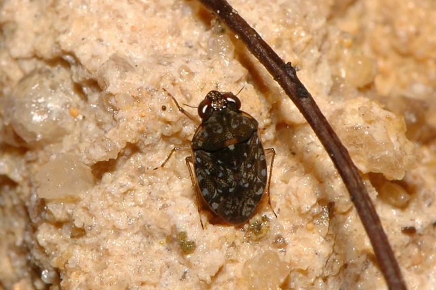 OCHTERUS. Bugs from the family Ochteridae are mostly black with bluish-grey spots, which makes them appear velvety. They do not live in water, but are found along the margins of standing or running water.