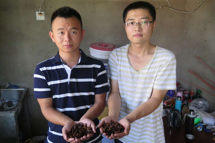 Mr Qian Cheng (left) and Mr Zheng Tianhang with the dead cockroaches that they sell.