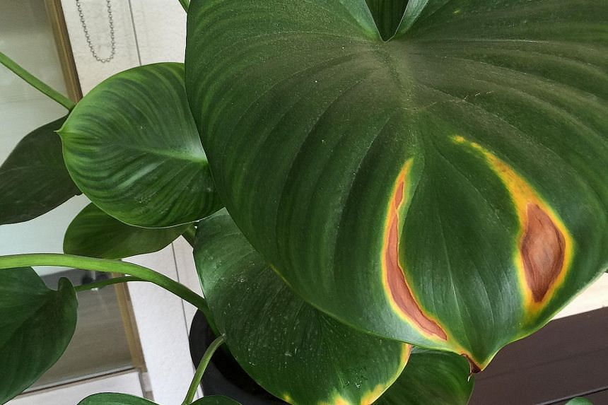 Bacterial or fungal disease and exposure to excessive sunlight can affect leaves.