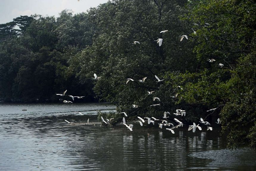 The Sungei Buloh Wetland Reserve boasts a rich variety of mangrove wildlife, which includes the migratory shorebirds.