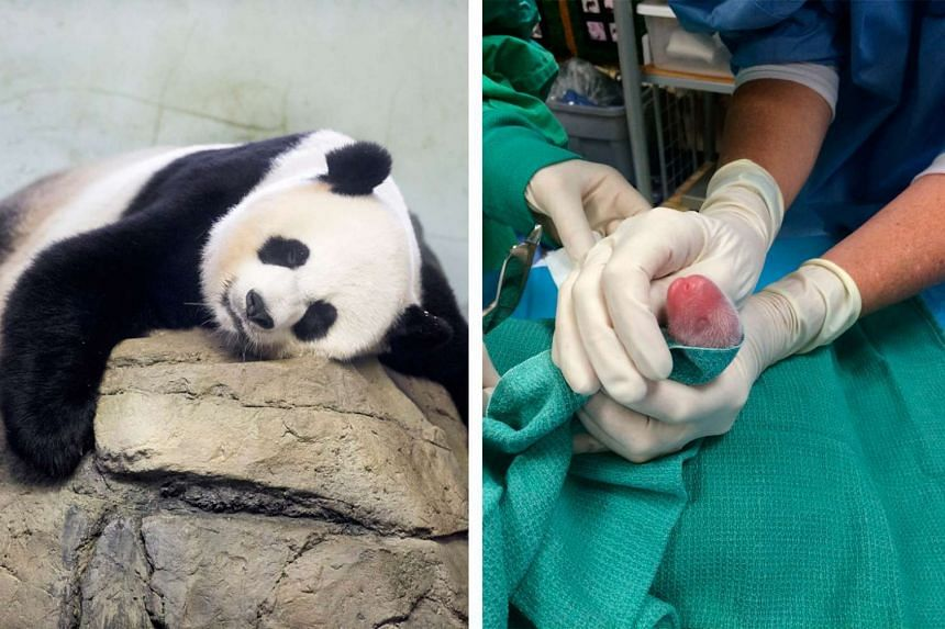 Mei Xiang (left) was artificially inseminated in April with frozen and fresh sperm from two pandas, but evidence of a foetus was first detected during an ultrasound scan last week. Veterinarians (right) examining one of the two newborn cubs, whose ge