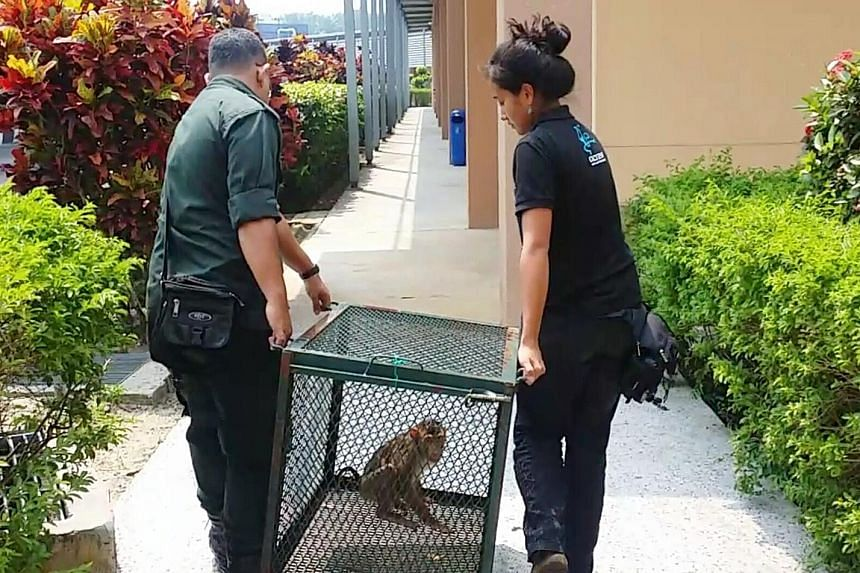 The endangered pig-tailed macaque was found chained in a cage in May. It was sent to Malaysia's Department of Wildlife and National Parks in Johor on Sunday.