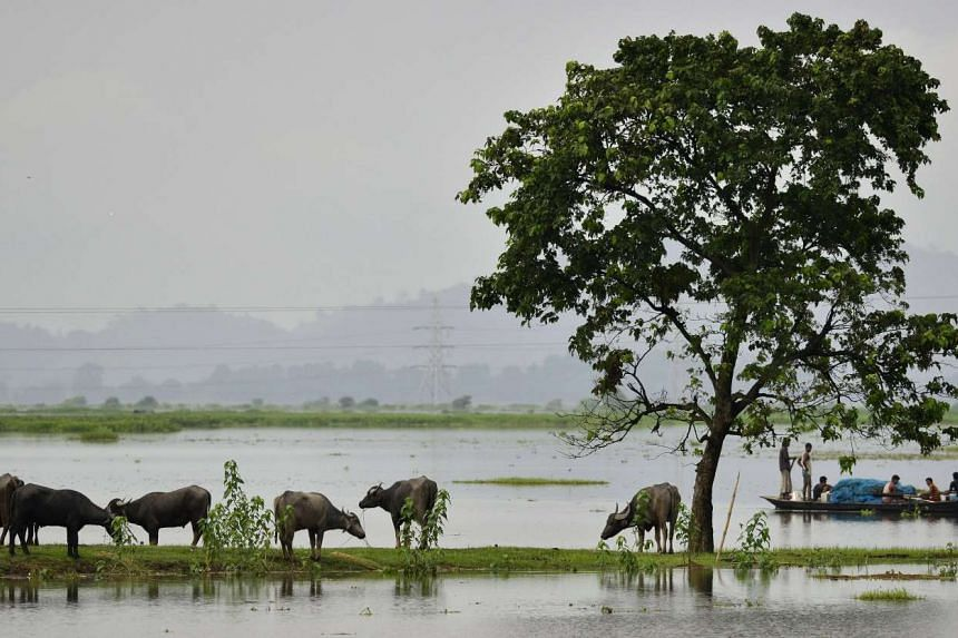 Buffalos take shelter on higher land in the flood affected Morigaon district of Assam state, India, on Aug 23, 2015.