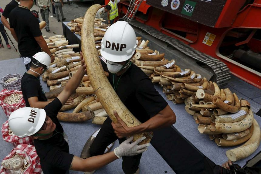 An official holds a confiscated elephant tusk before destroying the ivory at the Department of National Parks, Wildlife and Plant Conservation, in Bangkok on Aug 26, 2015.