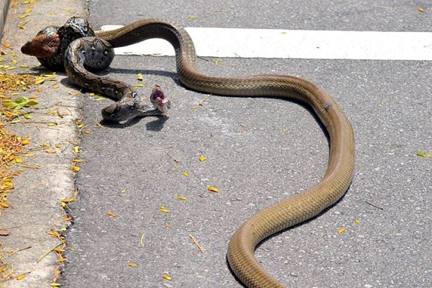 Students at NTU were stunned to see a king cobra and a reticulated python fighting on the grounds of the university on Thursday, Aug 27, 2015.